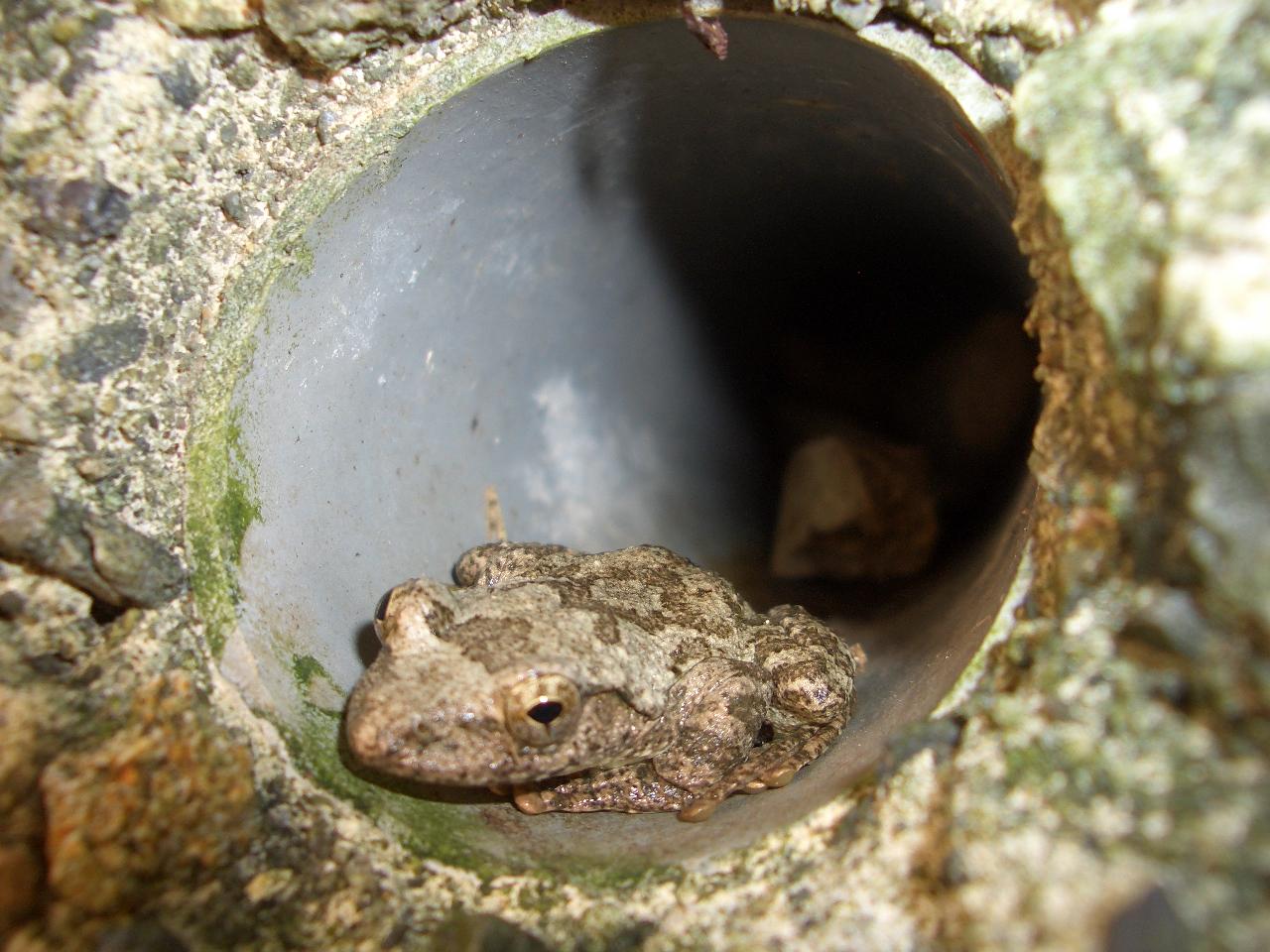 穴のかじかガエル