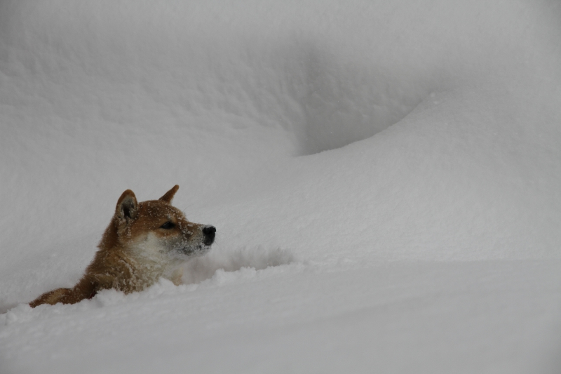 雪の中を泳ぐチャング